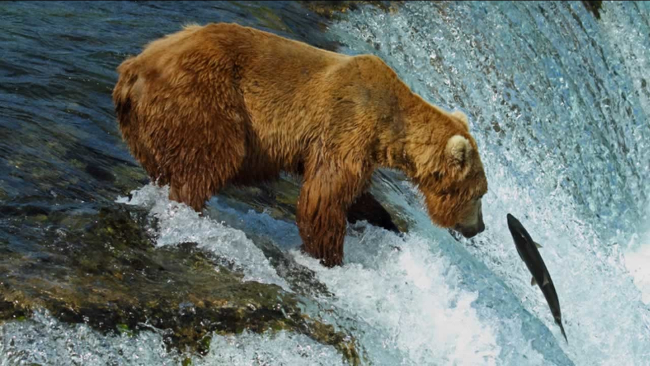 A bear fishes for salmon at Brooks Falls in Katmai National Park in Alaska in this undated photo.