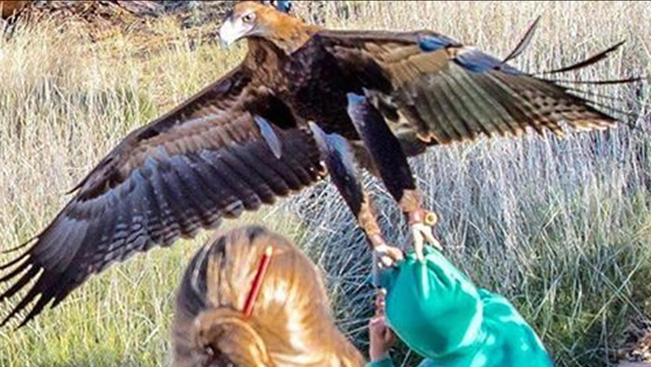 A young boy received quite the shock after a wedge-tailed eagle gashed his face while trying to snatch him away during a birds of prey show on July 6, 2016 in Australia.
