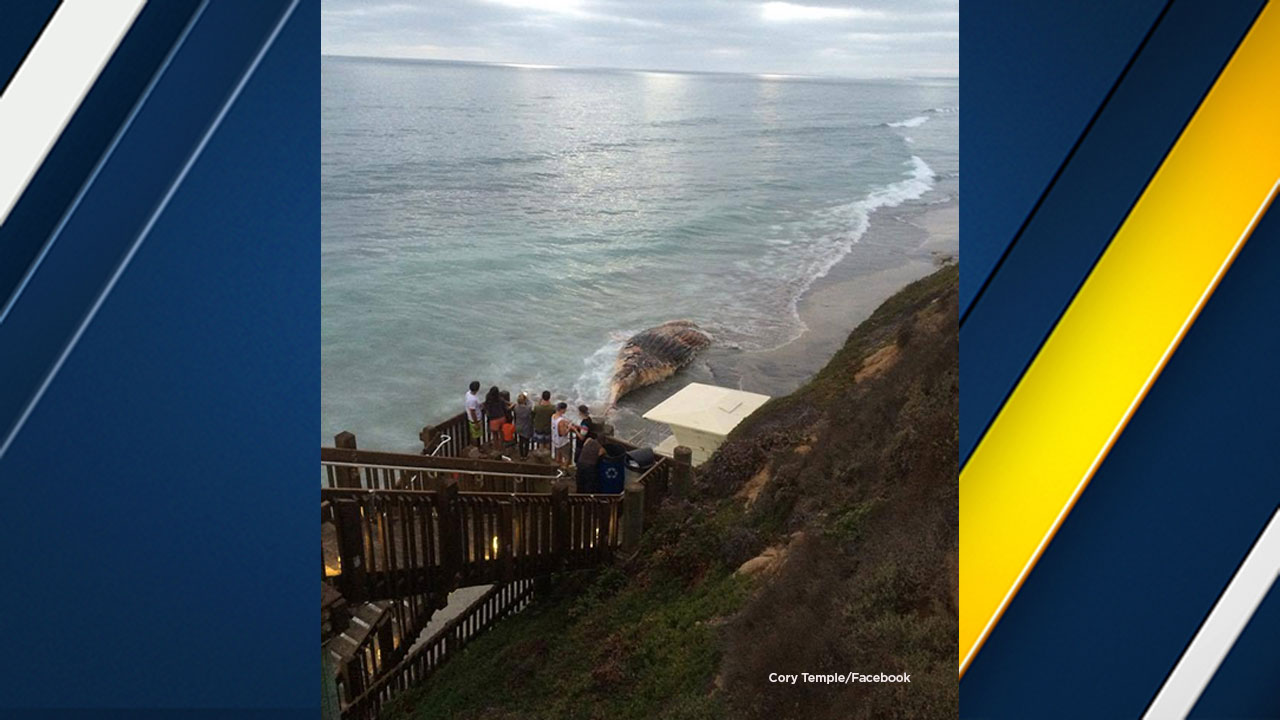 "The carcass of a whale, believed to be the same ""Wally"" that came ashore at Dockweiler Beach, washed up in Carlsbad on Saturday, July 16, 2016."