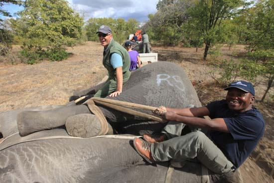"<div class=""meta image-caption""><div class=""origin-logo origin-image ap""><span>AP</span></div><span class=""caption-text"">Elephants are tied ready for transportation, in Lilongwe, Malawi, in the first step of an assisted migration of 500 of the threatened species. (AP Photo/Tsvangirayi Mukwazhi)</span></div>"
