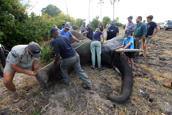 "<div class=""meta image-caption""><div class=""origin-logo origin-image ap""><span>AP</span></div><span class=""caption-text"">An elephant is measured after being shot by a dart in Lilongwe, Malawi (AP Photo/Tsvangirayi Mukwazhi)</span></div>"
