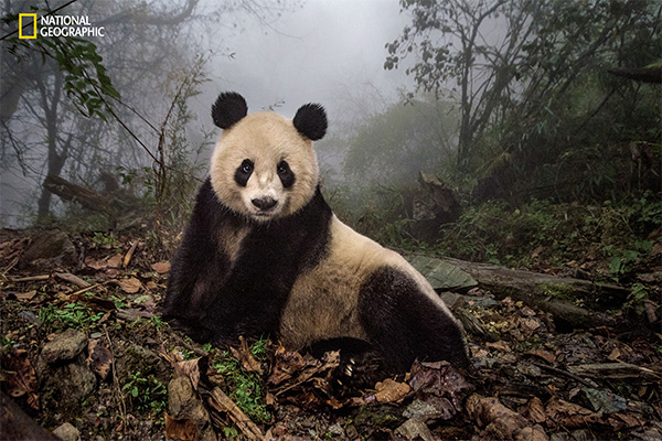 "<div class=""meta image-caption""><div class=""origin-logo origin-image wpvi""><span>wpvi</span></div><span class=""caption-text"">Ye Ye, a 16-year-old giant panda, lounges in a wild enclosure at a conservation center in Wolong Nature Reserve. (© Ami Vitale / National Geographic)</span></div>"