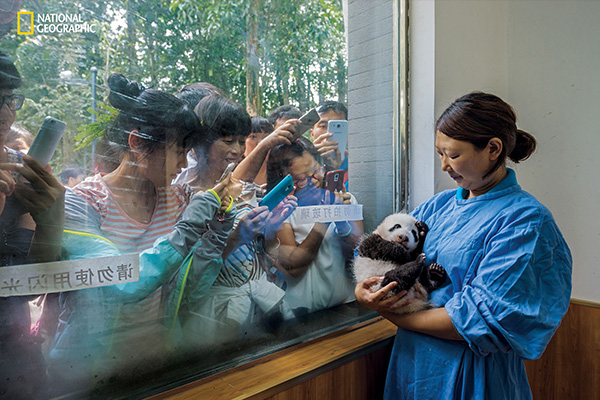"<div class=""meta image-caption""><div class=""origin-logo origin-image wpvi""><span>wpvi</span></div><span class=""caption-text"">Caretaker Li Feng cradles her precious charge by the window of Bifengxia's panda nursery, the most popular stop for visitors touring the facilities. (© Ami Vitale / National Geographic)</span></div>"