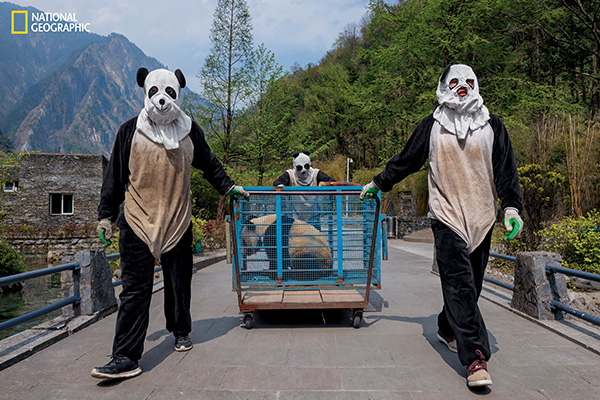 "<div class=""meta image-caption""><div class=""origin-logo origin-image wpvi""><span>wpvi</span></div><span class=""caption-text"">Wolong Reserve keepers transport Hua Jiao (Delicate Beauty) for a health check before she finishes ""wild training."" (© Ami Vitale / National Geographic)</span></div>"