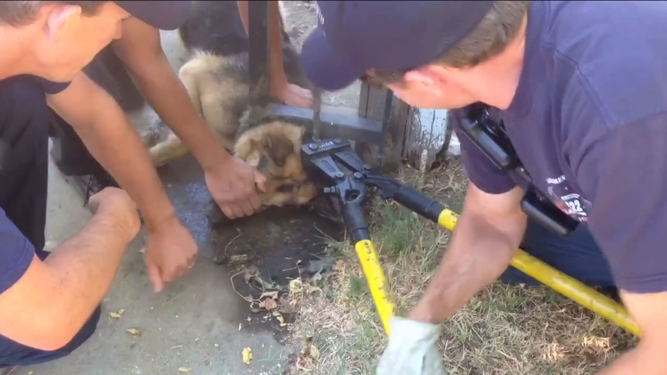 Firefighters work to free a German shepherd that got its head stuck in the bottom of a fence on July 14, 2016.