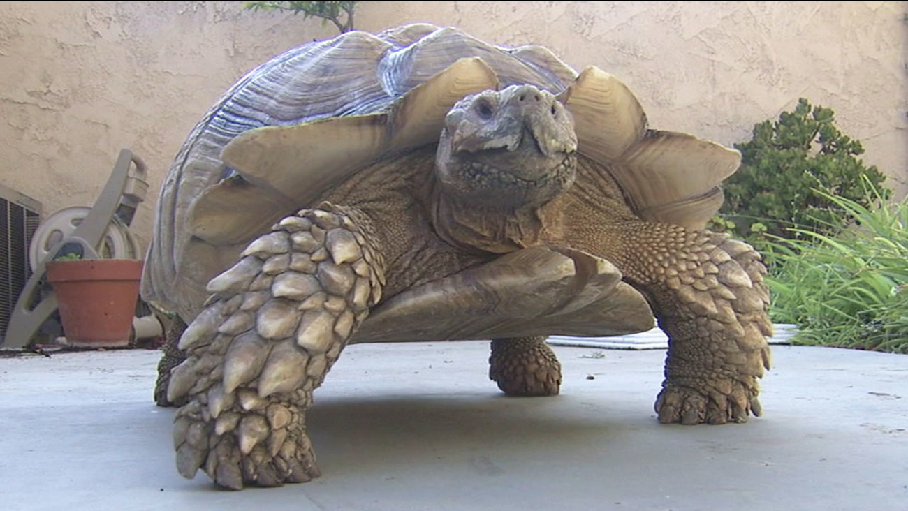 Pebbles the tortoise is seen after being reunited with its owners following a narrow escape from the Sand Fire in Santa Clarita.