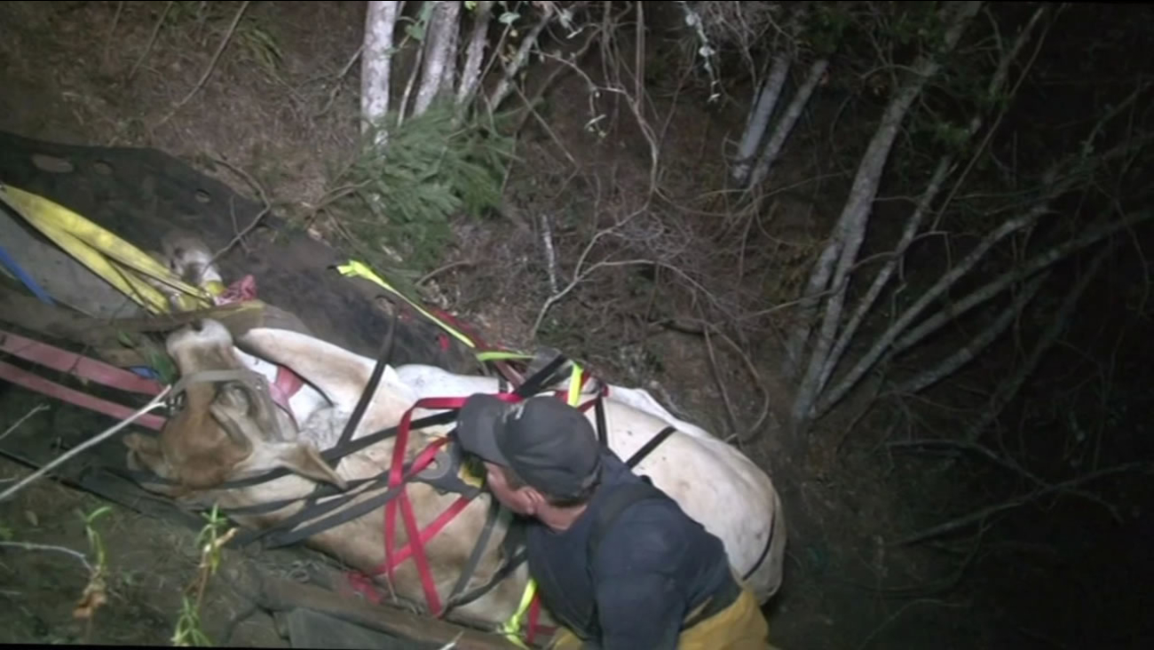 """This image shows volunteer firefighters rescuing """"Tiny"""" the cow after it fell down a hill in Sonoma County."""