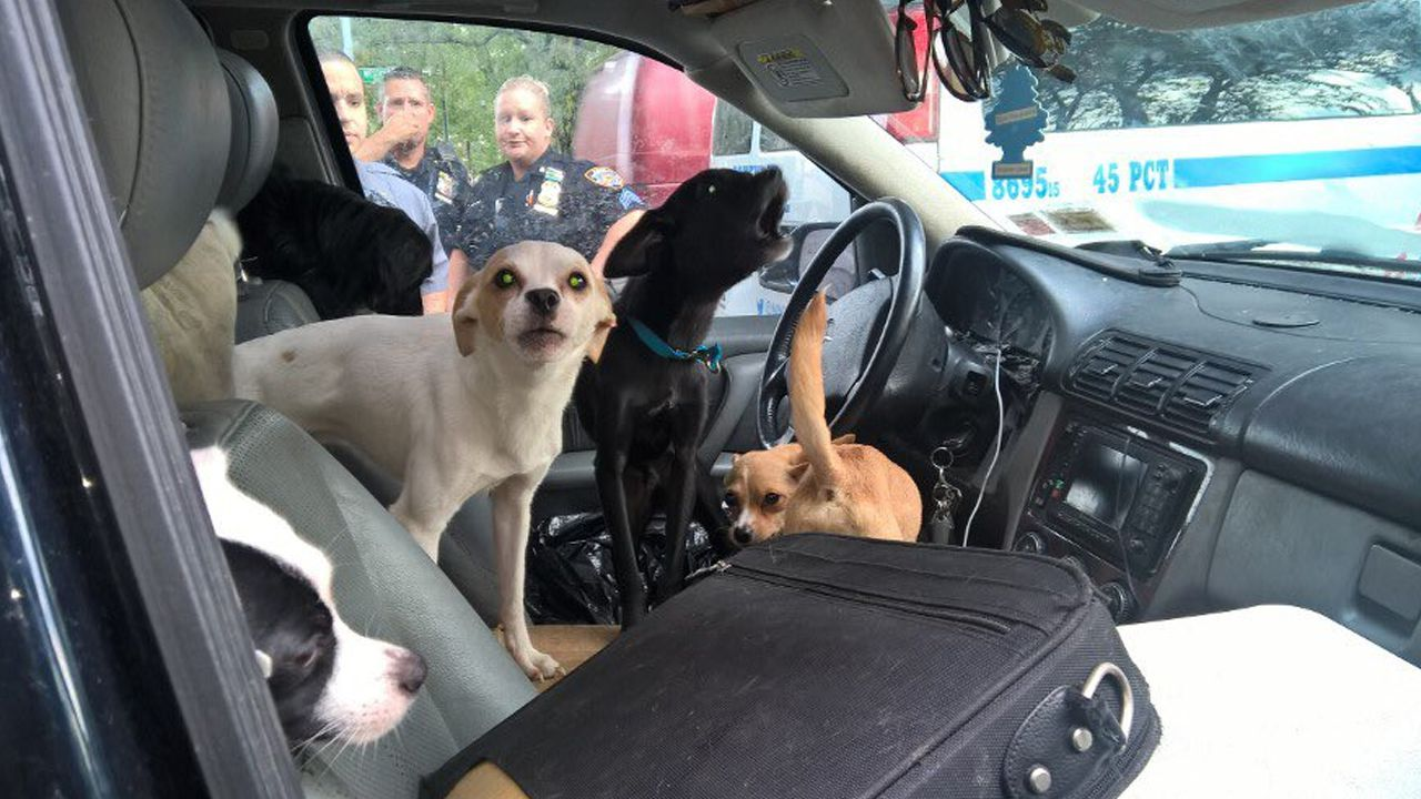 22 Dogs Found Living Inside Suv In The Bronx Rescued By Nypd Abc7 New York