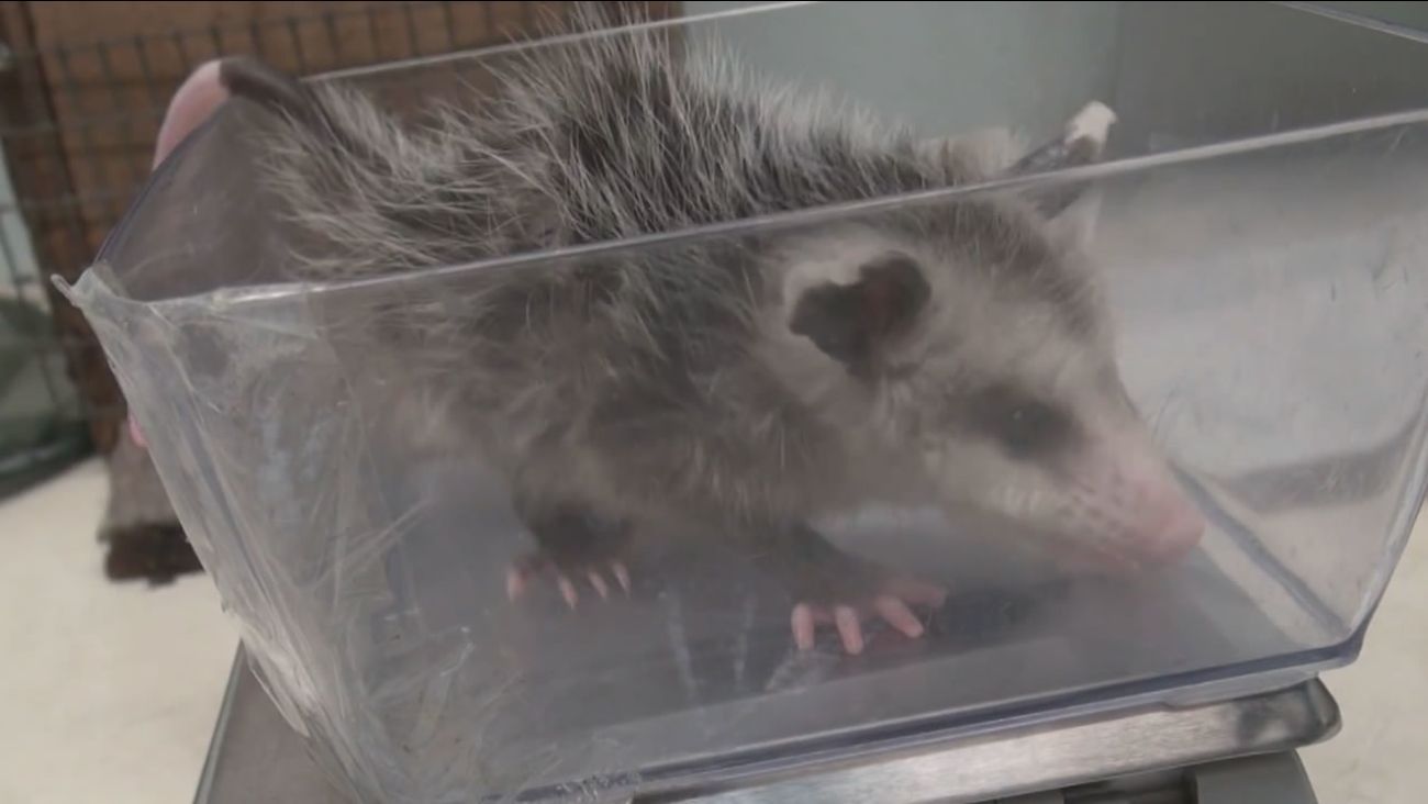 This undated image from a video provided by Wildcare shows a baby possum that was abandoned in San Rafael, Calif.