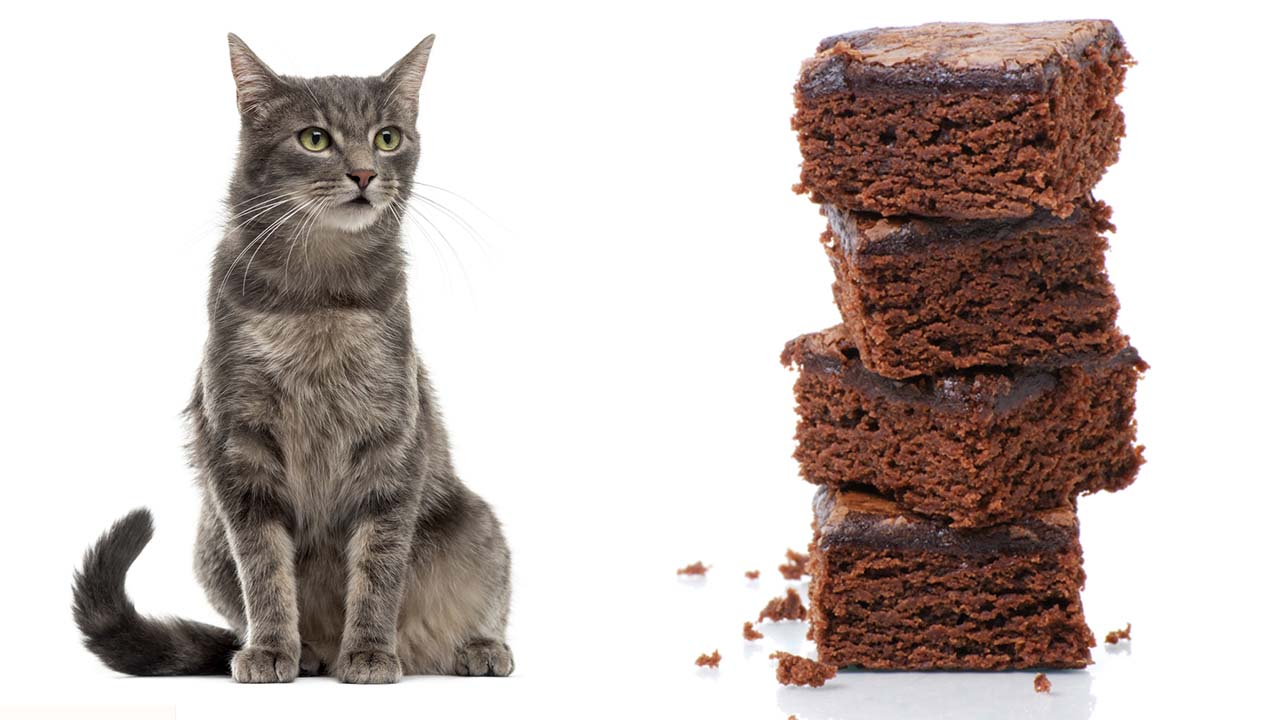 A generic cat and a stack of brownies