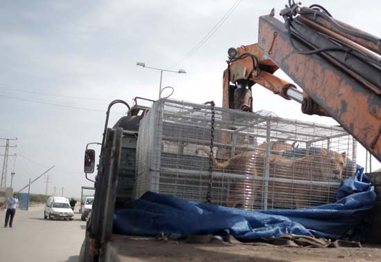 "<div class=""meta image-caption""><div class=""origin-logo origin-image ap""><span>AP</span></div><span class=""caption-text"">A lioness sits in a crate on a truck on the Palestinian side of Erez crossing with Israel in northern Gaza Strip. Monday, April. 11, 2016. (AP Photo/ Khalil Hamra)</span></div>"