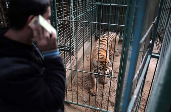 "<div class=""meta image-caption""><div class=""origin-logo origin-image ap""><span>AP</span></div><span class=""caption-text"">Palestinian owner of the South Jungle Zoo, Mohammed Ouida, stands in front of the cage of the emaciated African tiger, in Rafah, southern Gaza Strip. (AP Photo/ Khalil Hamra)</span></div>"