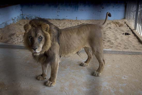 "<div class=""meta image-caption""><div class=""origin-logo origin-image ap""><span>AP</span></div><span class=""caption-text"">A lion, previously moved from Gaza, stands in a zoo in the Atil village near the West Bank city of Tulkarem (AP Photo/Majdi Mohammed)</span></div>"