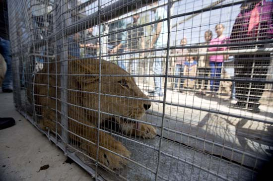 "<div class=""meta image-caption""><div class=""origin-logo origin-image ap""><span>AP</span></div><span class=""caption-text"">Palestinians look at a lioness after her arrival at a zoo in the Atil village near the West Bank city of Tulkarem, Monday, April 11, 2016 (AP Photo/Majdi Mohammed)</span></div>"