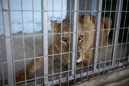"<div class=""meta image-caption""><div class=""origin-logo origin-image ap""><span>AP</span></div><span class=""caption-text"">A lioness sits after her arrival at a zoo in the Atil village near the West Bank city of Tulkarem (AP Photo/Majdi Mohammed)</span></div>"
