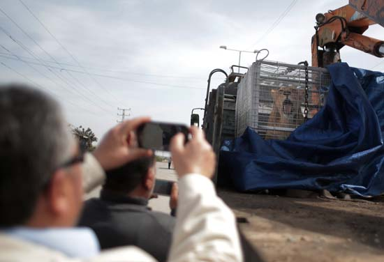 "<div class=""meta image-caption""><div class=""origin-logo origin-image ap""><span>AP</span></div><span class=""caption-text"">A Palestinian man photographs a lioness siting in a crate on a truck on the Palestinian side of Erez crossing with Israel in northern Gaza Strip. (AP Photo/ Khalil Hamra)</span></div>"
