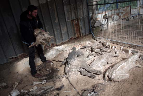 "<div class=""meta image-caption""><div class=""origin-logo origin-image ap""><span>AP</span></div><span class=""caption-text"">Palestinian owner of the South Jungle Zoo, Mohammed Ouida, shows mummified animals that died from hunger and Israeli strikes at the Jungle Zoo in Rafah, southern Gaza Strip. (AP Photo/ Khalil Hamra)</span></div>"