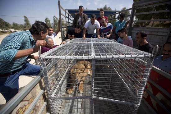 "<div class=""meta image-caption""><div class=""origin-logo origin-image ap""><span>AP</span></div><span class=""caption-text"">Four adult lions and two cubs were evacuated from cash-strapped, conflict-ridden zoos in Gaza for treatment and better living conditions in the West Bank and Jordan (AP Photo/Majdi Mohammed)</span></div>"