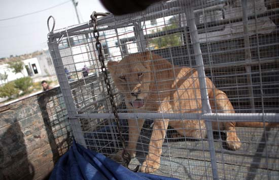 "<div class=""meta image-caption""><div class=""origin-logo origin-image ap""><span>AP</span></div><span class=""caption-text"">A lioness sits in a crate on a truck on the Palestinian side of Erez crossing with Israel in northern Gaza Strip. (AP Photo/ Khalil Hamra)</span></div>"