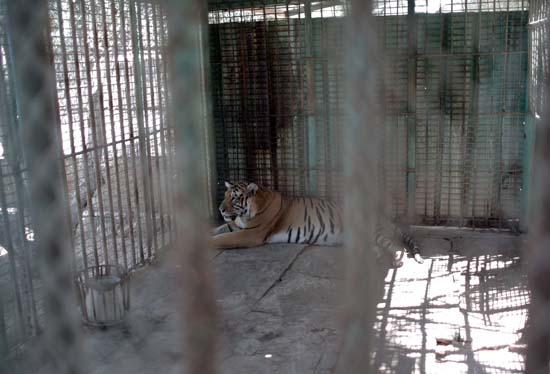 "<div class=""meta image-caption""><div class=""origin-logo origin-image ap""><span>AP</span></div><span class=""caption-text"">A tiger lays in a metal cage in a zoo in Khan Younis , southern Gaza Strip, Friday, Aug. 19, 2016 (AP Photo/ Khalil Hamra)</span></div>"