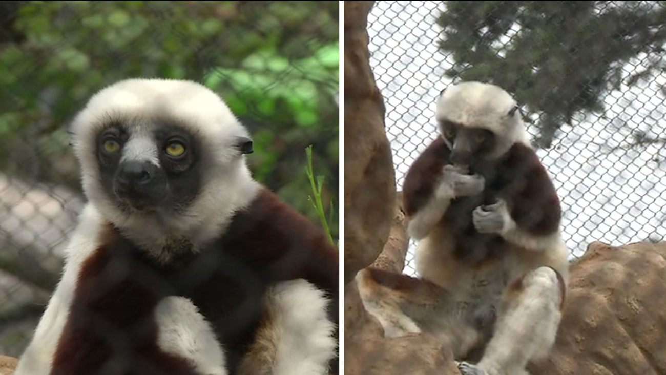 Two Sifaka lemurs checked out their new habitat at the San Francisco Zoo's Primate Center on Friday, August 19, 2016.