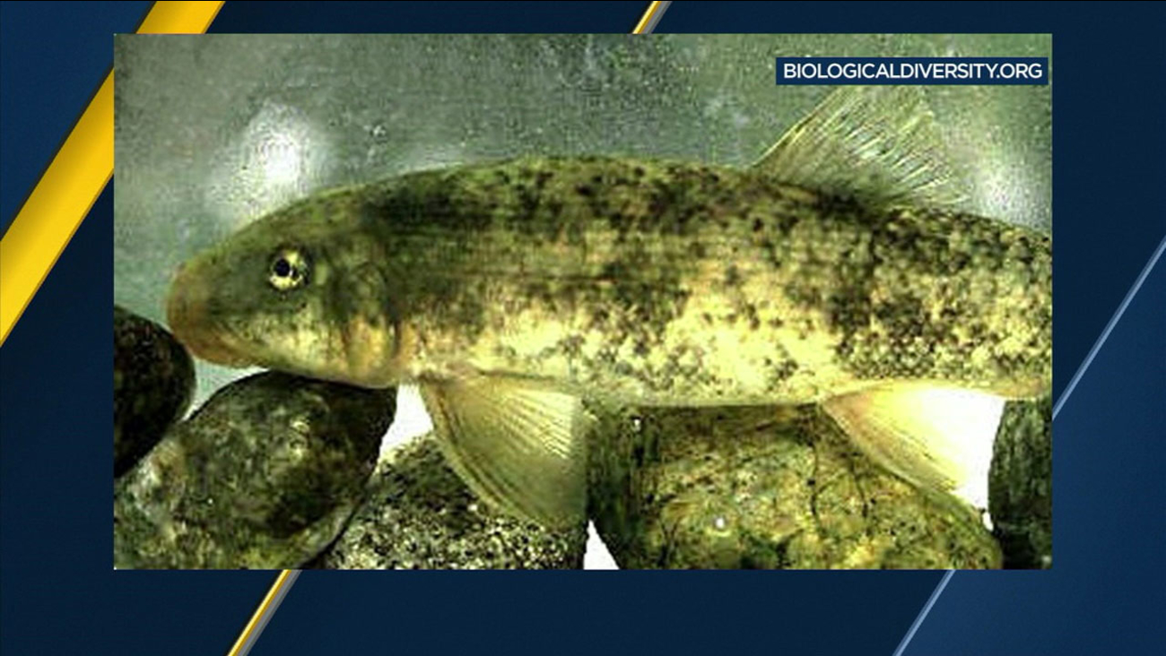 The Santa Ana sucker fish can be seen in a photo provided by the Center for Biological Diversity.