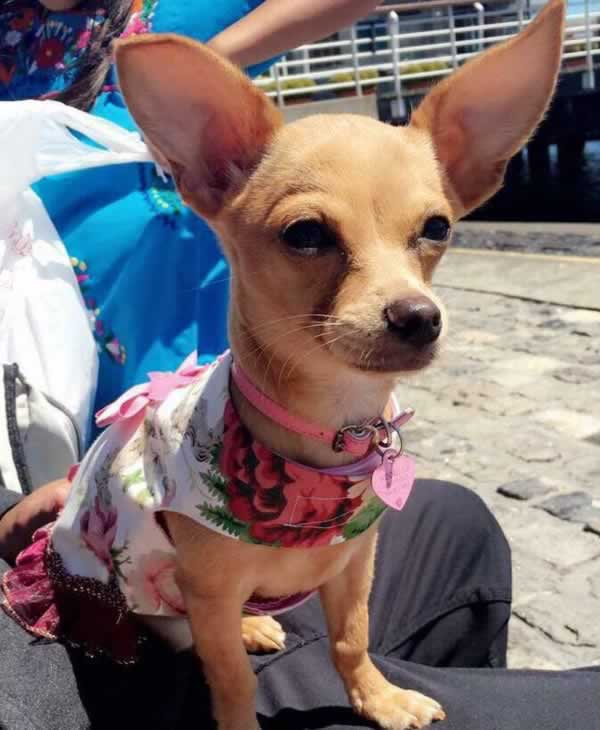 """<div class=""""meta image-caption""""><div class=""""origin-logo origin-image none""""><span>none</span></div><span class=""""caption-text"""">In honor of National Dog Day, ABC7 viewers are sharing pictures of their furry friends! Show us your pooch by tagging pics #abc7now! (Photo submitted to KGO-TV by Yenny Garcia/Facebook)</span></div>"""
