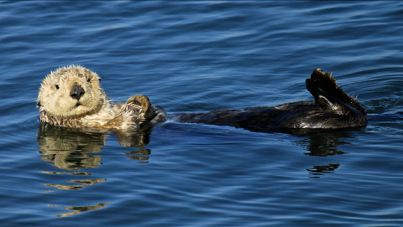 This file image shows a southern sea otter in the water in the Pacific Southwest region on October 18, 2011.