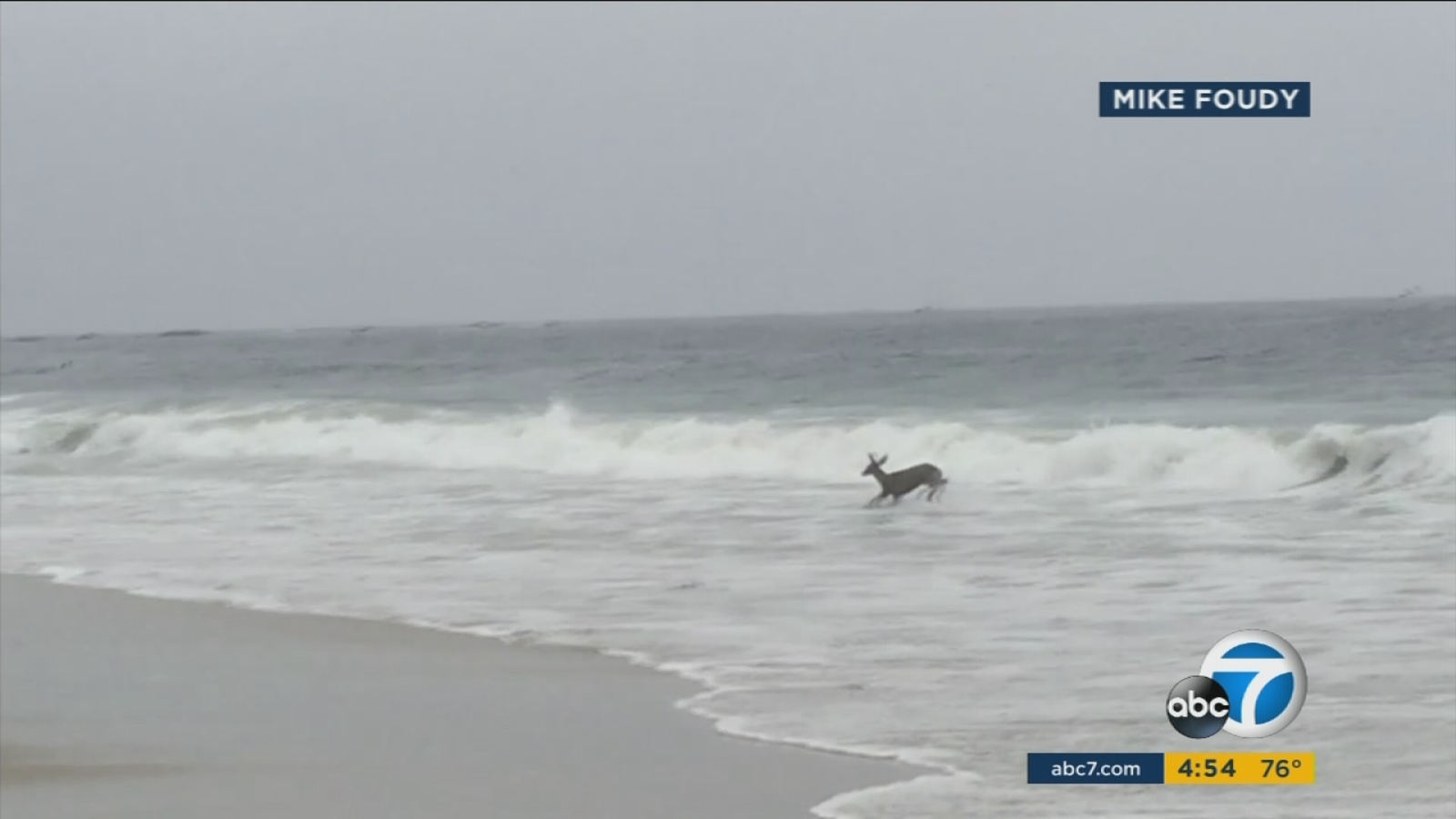 Deer interrupts surfing contest while swimming in Orange County beach