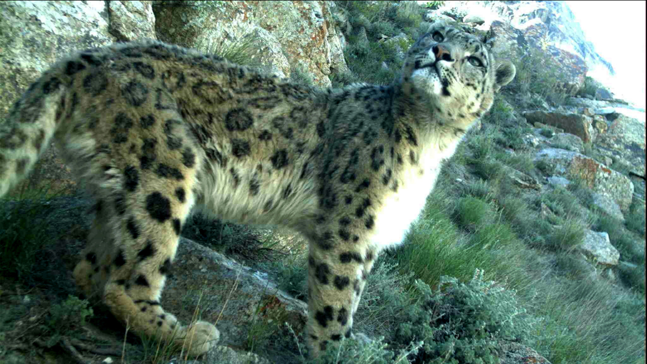 Camera trap photo of a snow leopard