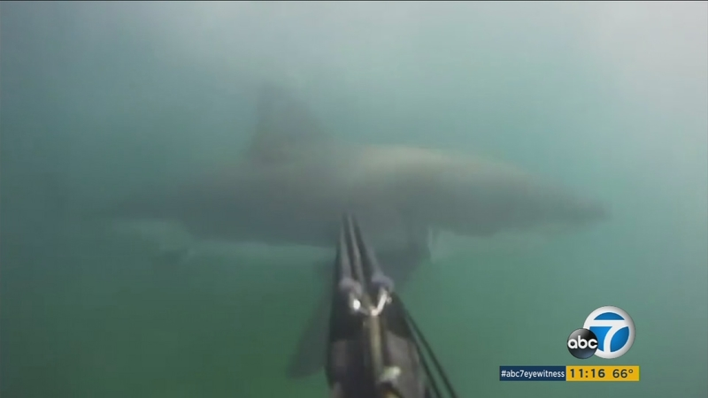 Great White Shark Attack Off Santa Barbara -