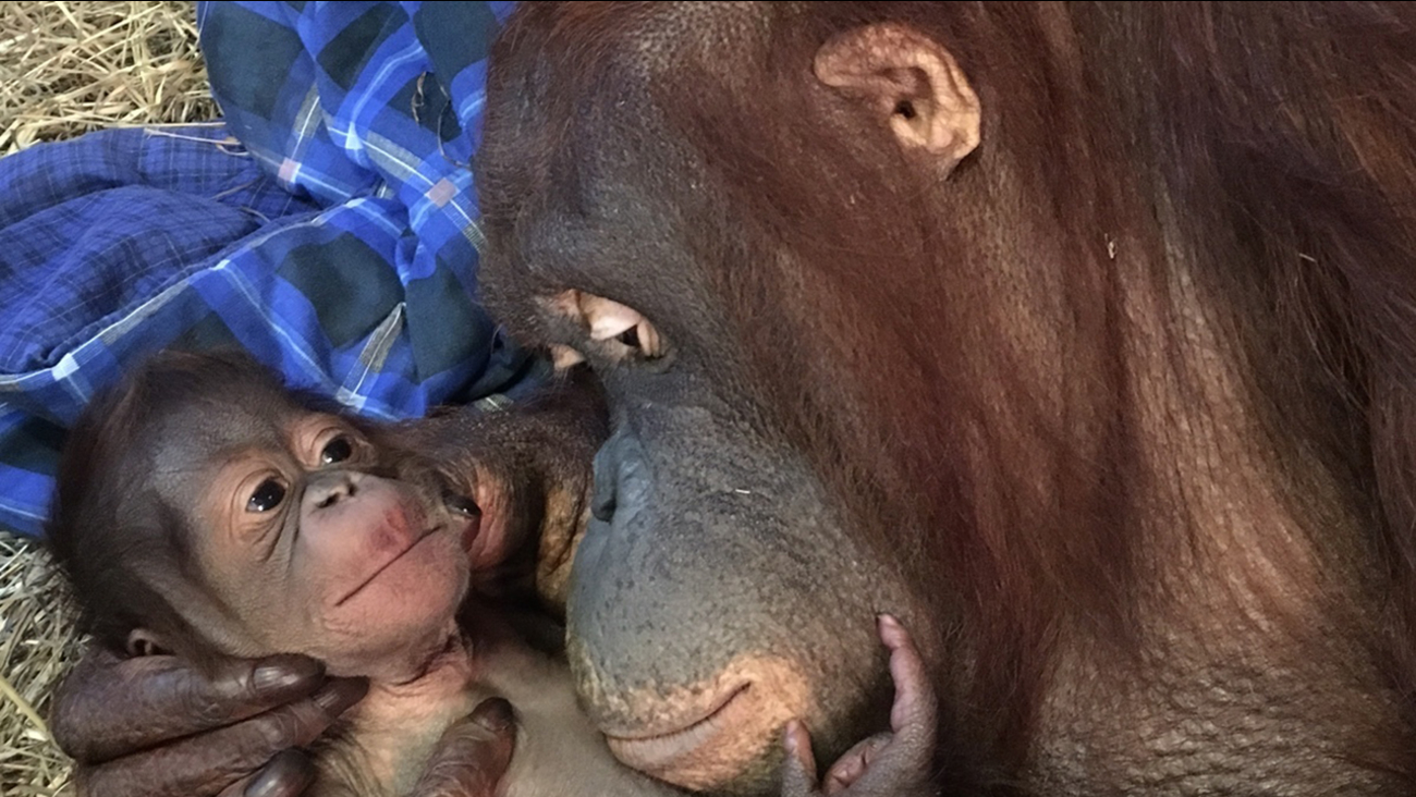 Batang and her infant in the Great Ape House are seen the Smithsonian's National Zoo in Washington