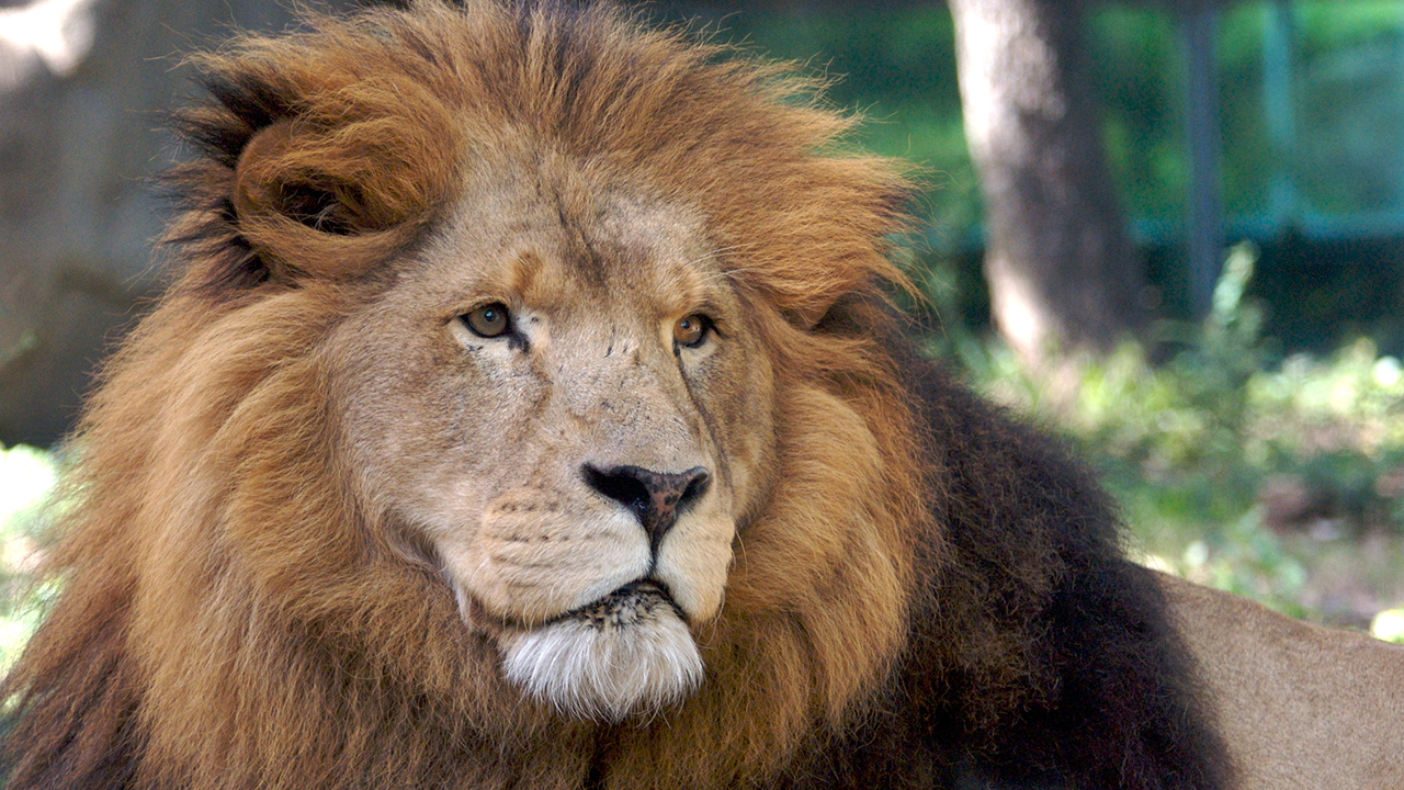 Lion at the Houston Zoo dies
