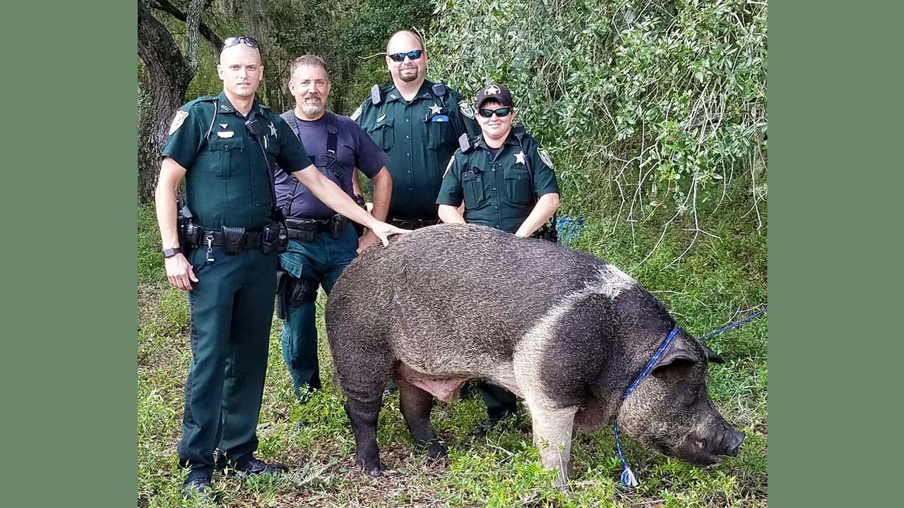 Hog found roaming