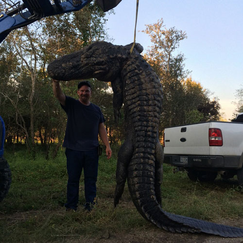 exclusive nearly 14 foot long gator hunted in dayton