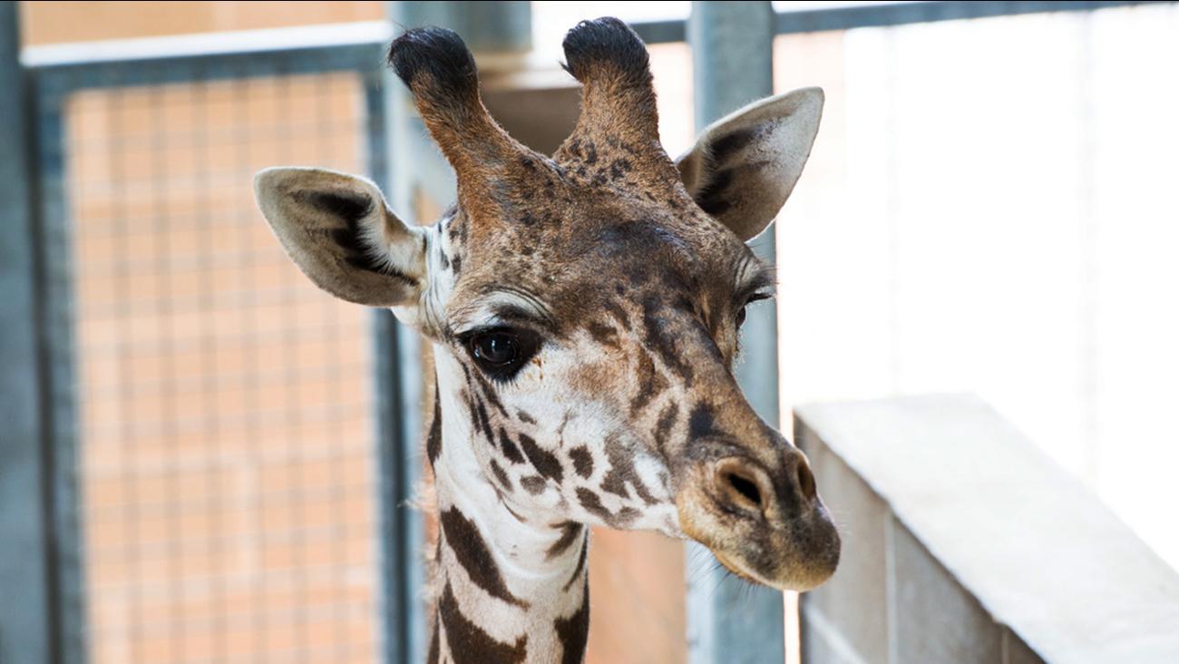 Giraffe - Houston Zoo