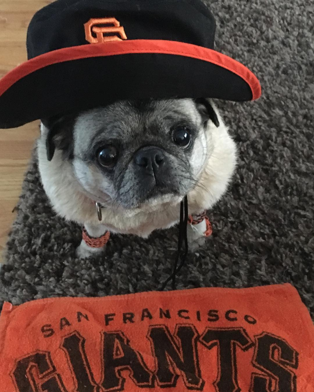 """<div class=""""meta image-caption""""><div class=""""origin-logo origin-image none""""><span>none</span></div><span class=""""caption-text"""">ABC7 viewers are showing off their San Francisco Giants fan pride. Share yours by tagging them #abc7now! (Photo submitted to KGO-TV by @daisythepugig/Instagram)</span></div>"""