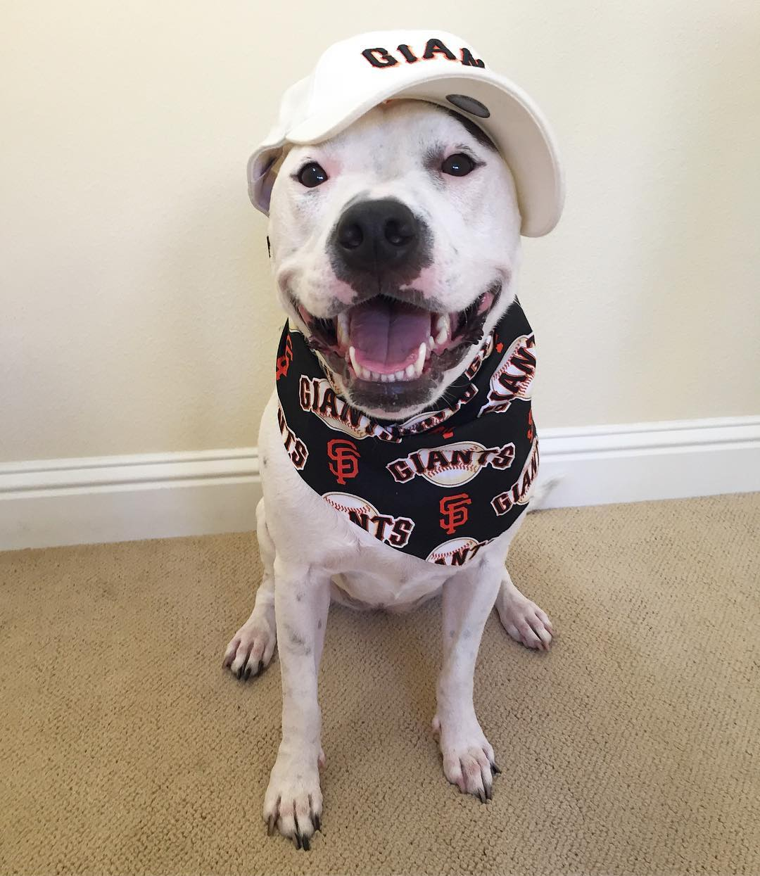 """<div class=""""meta image-caption""""><div class=""""origin-logo origin-image none""""><span>none</span></div><span class=""""caption-text"""">ABC7 viewers are showing off their San Francisco Giants fan pride. Share yours by tagging them #abc7now! (Photo submitted to KGO-TV by @ksadiepitopotamus/Instagram)</span></div>"""