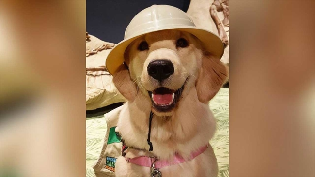 Service Dog In Training Is Amazing Social Media Users With Impressive Tricks Abc13