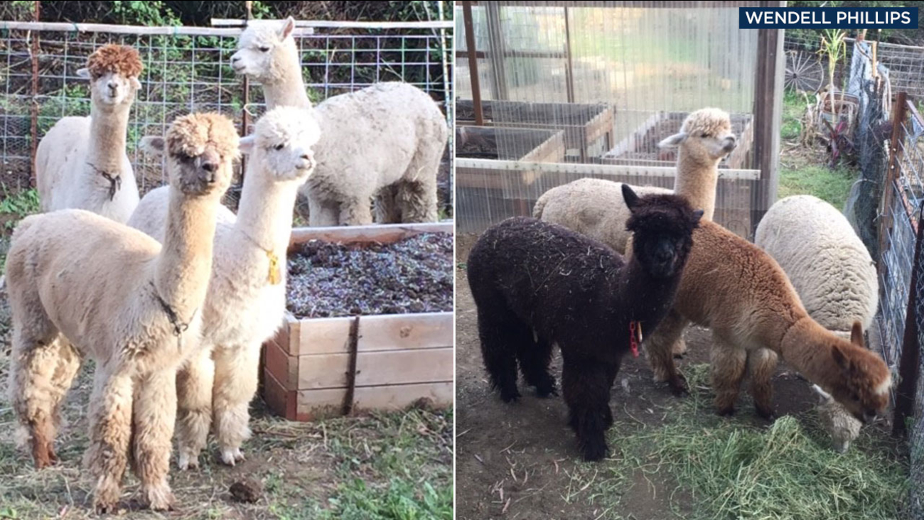 Four female alpacas are shown in a photo on the left and three males are shown in a photo on the right.