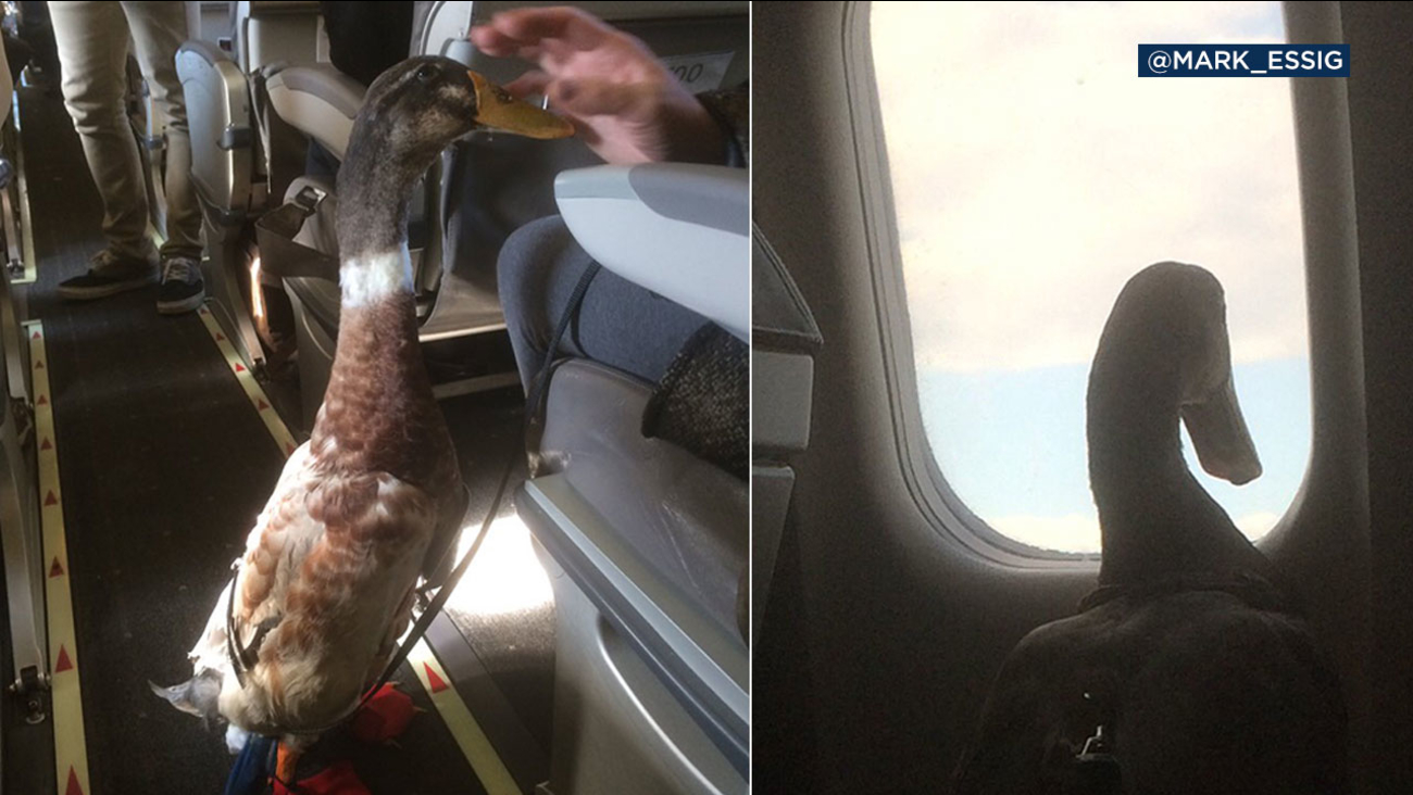 Daniel the duck helps provide comfort to his human companion on airplanes.