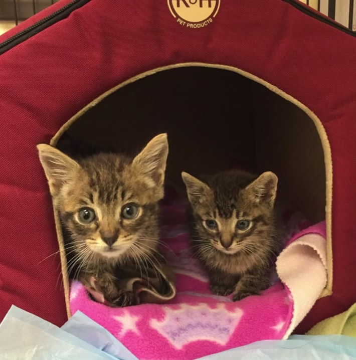 "<div class=""meta image-caption""><div class=""origin-logo origin-image none""><span>none</span></div><span class=""caption-text"">Two kittens that were apparently used as bait for pit bull fighting were rescued and brought to a Pet Food Express in Benicia, Calif. on Oct. 13, 2016. (Solano County Friends of Animals)</span></div>"