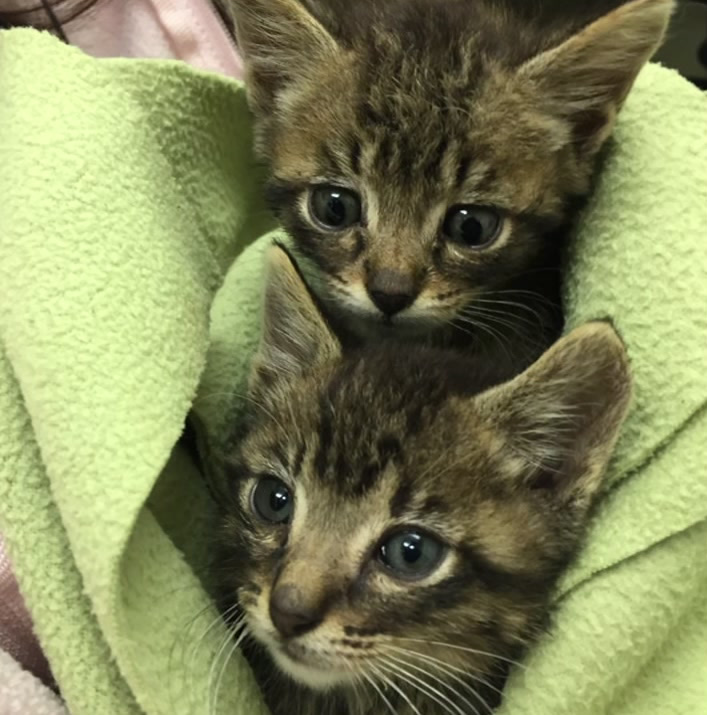 <div class='meta'><div class='origin-logo' data-origin='none'></div><span class='caption-text' data-credit='Solano County Friends of Animals'>Two kittens that were apparently used as bait for pit bull fighting were rescued and brought to a Pet Food Express in Benicia, Calif. on Oct. 13, 2016.</span></div>