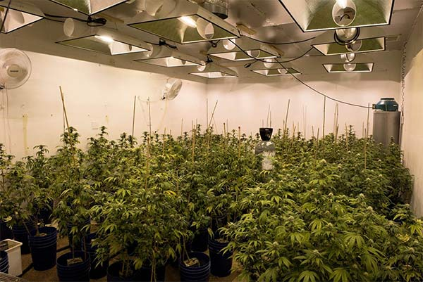 Marijuana plants are seen inside a unit at a Canyon Country strip mall.