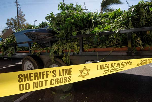 Seized marijuana plants are seen being hauled out of a Canyon Country strip mall following a bust.
