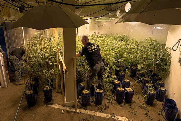 Sheriff's investigators seize marijuana plants at a Canyon Country strip mall during a bust.
