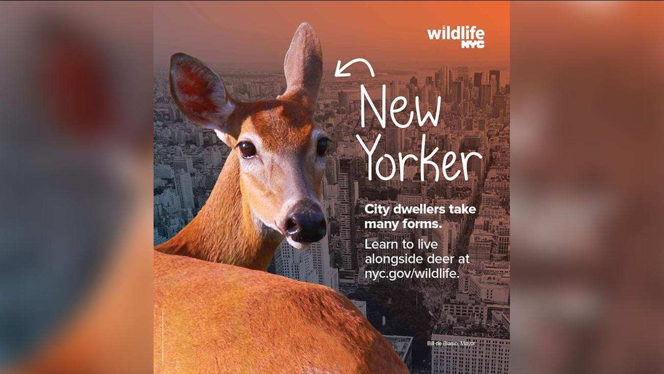 nycwildlife new york city deer