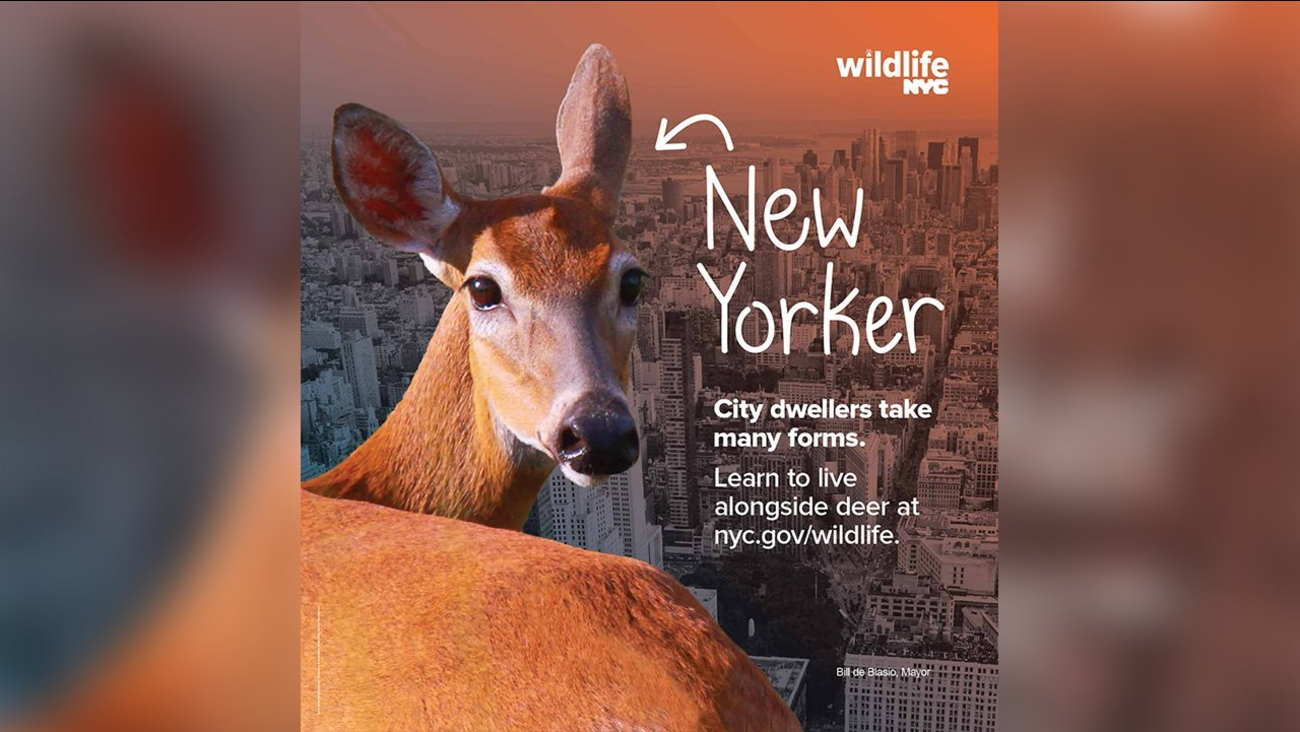 nycwildlife new york city deer