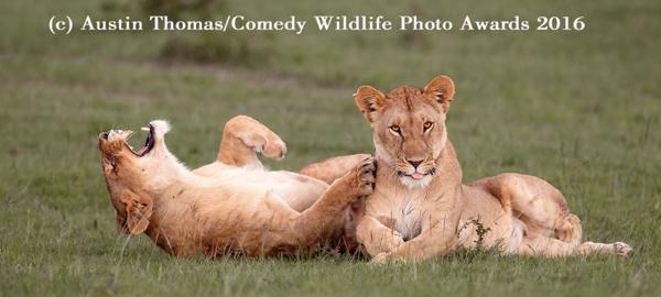 """<div class=""""meta image-caption""""><div class=""""origin-logo origin-image none""""><span>none</span></div><span class=""""caption-text"""">(Austin Thomas/Comedy Wildlife Awards 2016)</span></div>"""