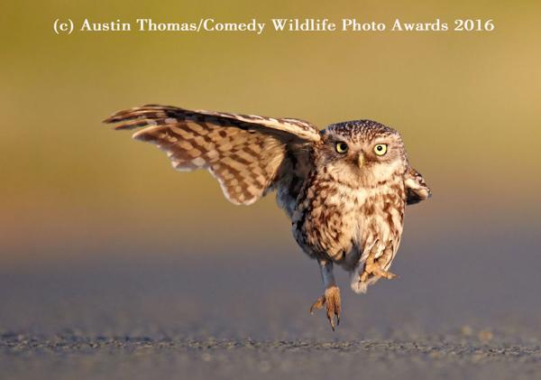 """<div class=""""meta image-caption""""><div class=""""origin-logo origin-image none""""><span>none</span></div><span class=""""caption-text"""">(Austin Thomas/Comedy Wildlife Photo Awards 2016)</span></div>"""
